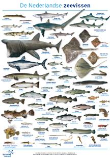 Dubbelposter Nederlandse zeevissen