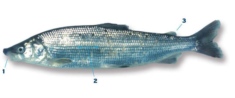 Coregonus  Wikispecies