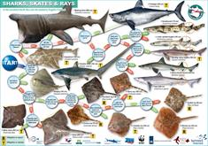 ID Card Sharks and Rays of the North Sea (A3)