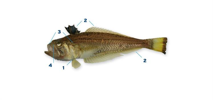 kleine pieterman - vissoorten - vis & water - sportvisserij nederland