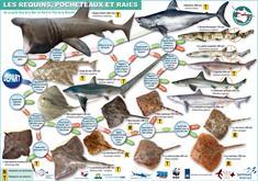 Les requins, pocheteaux et raies de la Mer du Nord (carte d'identification)