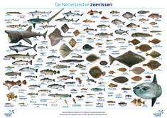Miniposters De Nederlandse Vissen