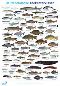 Poster de Nederlandse Zoetwatervissen